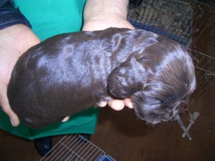 イングリッシュコッカースパニエルの子犬No.200903147-2
