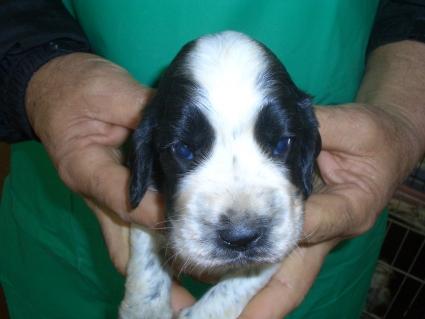 イングリッシュコッカースパニエルの子犬No.200903142