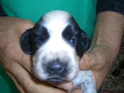 イングリッシュコッカースパニエルの子犬No.200903143