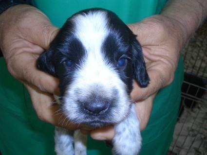 イングリッシュコッカースパニエルの子犬No.200903144