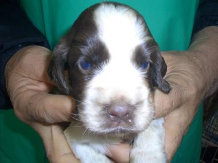 イングリッシュコッカースパニエルの子犬No.200903145