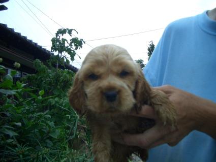 イングリッシュコッカースパニエルの子犬No.200905301