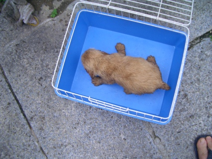 イングリッシュコッカースパニエルの子犬No.200905305-2