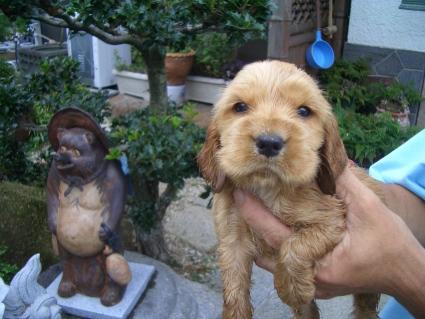 イングリッシュコッカースパニエルの子犬No.200905306