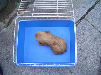 イングリッシュコッカースパニエルの子犬No.200905306-2