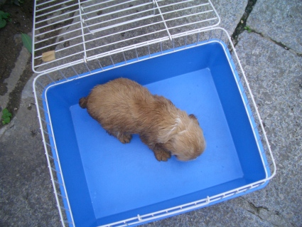 イングリッシュコッカースパニエルの子犬No.200905301-2