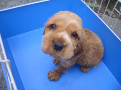 イングリッシュコッカースパニエルの子犬No.200905302