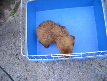 イングリッシュコッカースパニエルの子犬No.200905302-2