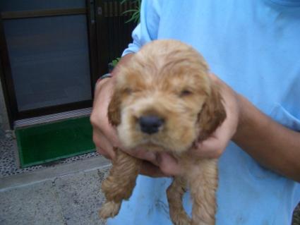 イングリッシュコッカースパニエルの子犬No.200905303