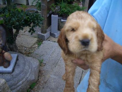 イングリッシュコッカースパニエルの子犬No.200905305