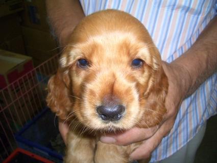 イングリッシュコッカースパニエルの子犬No.200905304