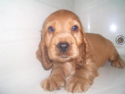 イングリッシュコッカースパニエルの子犬No.20090622