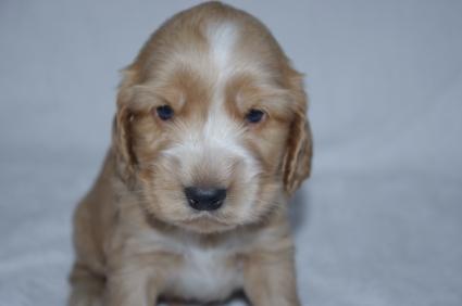 イングリッシュコッカースパニエルの子犬No.200911011