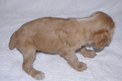 イングリッシュコッカースパニエルの子犬No.200911015-2