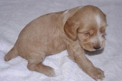 イングリッシュコッカースパニエルの子犬No.200911011-2