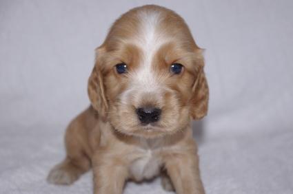 イングリッシュコッカースパニエルの子犬No.200911012