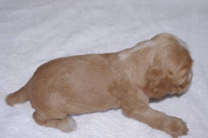 イングリッシュコッカースパニエルの子犬No.200911012-2