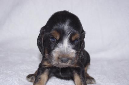 イングリッシュコッカースパニエルの子犬No.200911013