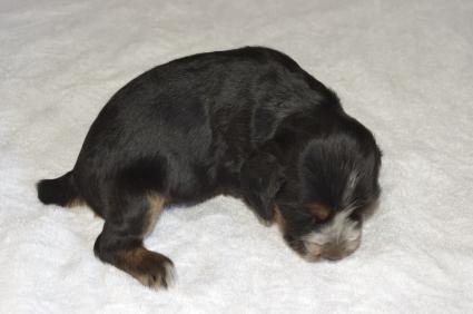 イングリッシュコッカースパニエルの子犬No.200911013-2