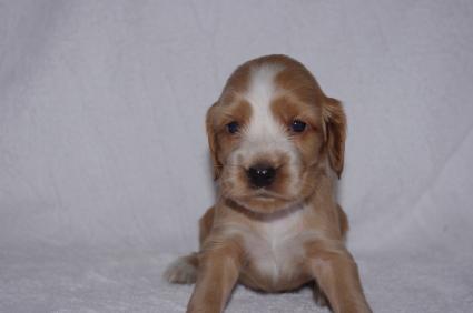 イングリッシュコッカースパニエルの子犬No.200911014