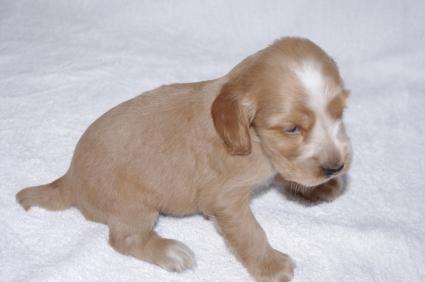 イングリッシュコッカースパニエルの子犬No.200911014-2