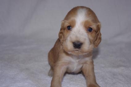 イングリッシュコッカースパニエルの子犬No.200911015