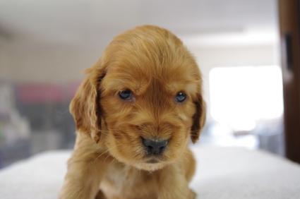 イングリッシュコッカースパニエルの子犬No.200901181