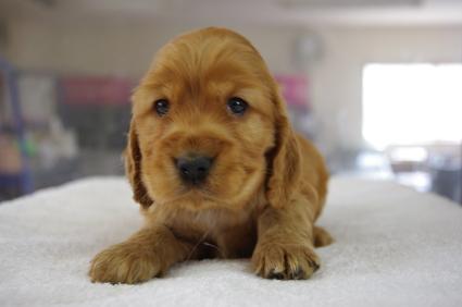 イングリッシュコッカースパニエルの子犬No.200901182