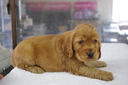 イングリッシュコッカースパニエルの子犬No.200901182-2