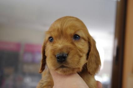 イングリッシュコッカースパニエルの子犬No.200901183