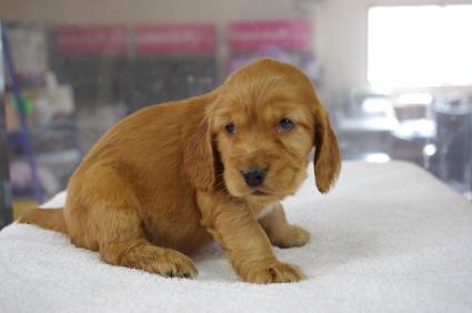 イングリッシュコッカースパニエルの子犬No.200901183-2