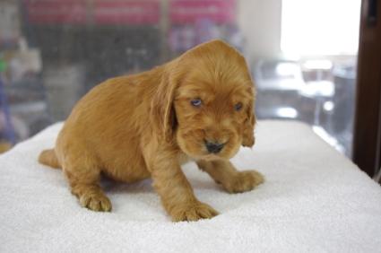 イングリッシュコッカースパニエルの子犬No.200901184-2