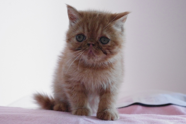 エキゾチックショートヘアの子猫