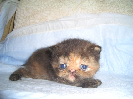 エキゾチックショートヘアの子猫写真