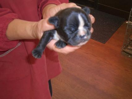 フレンチブルドッグの子犬販売No.200810073