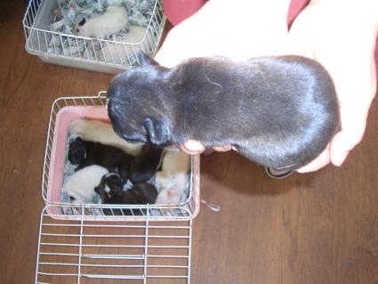 フレンチブルドッグの子犬販売No.200810073-2