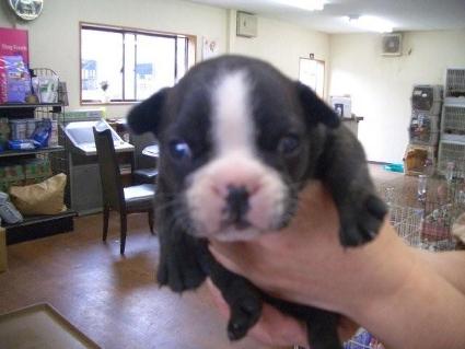フレンチブルドッグの子犬販売No.200810064