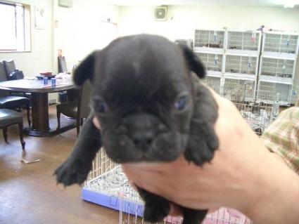フレンチブルドッグの子犬販売No.200810065