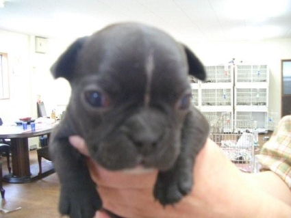 フレンチブルドッグの子犬販売No.200810066