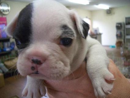 フレンチブルドッグの子犬販売No.200810061