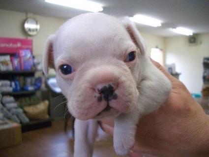フレンチブルドッグの子犬販売No.200810062