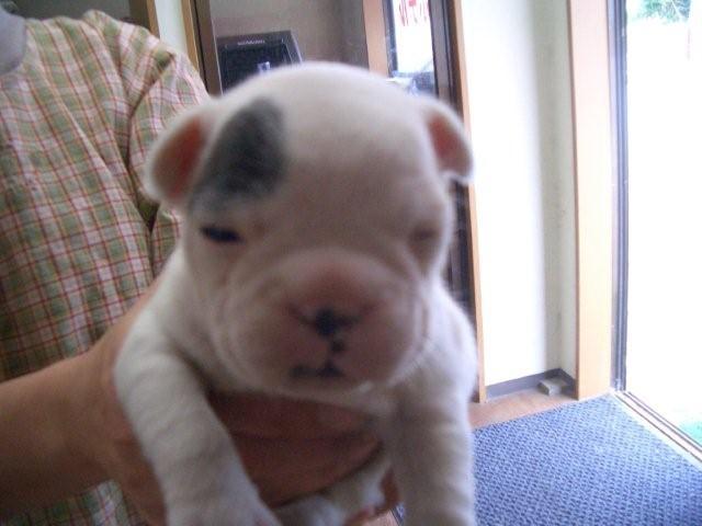 フレンチブルドッグの子犬販売No.200810071