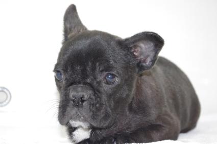 フレンチブルドッグの子犬販売No.200908151