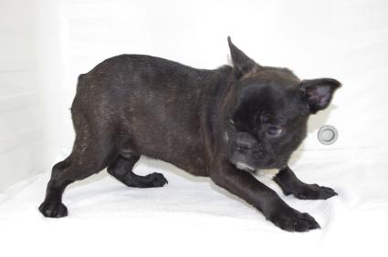 フレンチブルドッグの子犬販売No.200908151-2