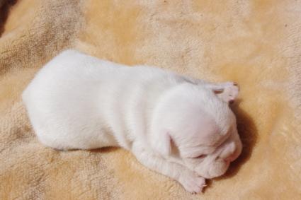 フレンチブルドッグの子犬販売No.201003113-2