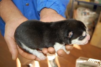 シベリアンハスキーの子犬No.200812112-2