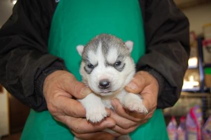 シベリアンハスキーの子犬No.200812113