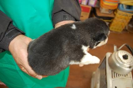 シベリアンハスキーの子犬No.200812114-2
