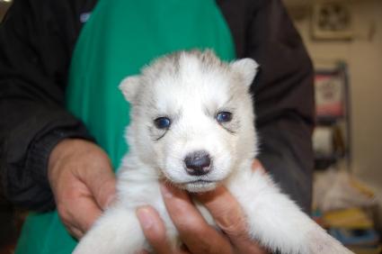 シベリアンハスキーの子犬No.200812033