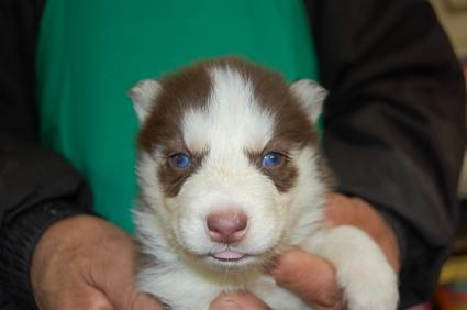 シベリアンハスキーの子犬No.200812034